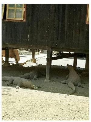 린차 섬 가옥 그늘에서 코모도가 떼를 지어 휴식을 취한다.