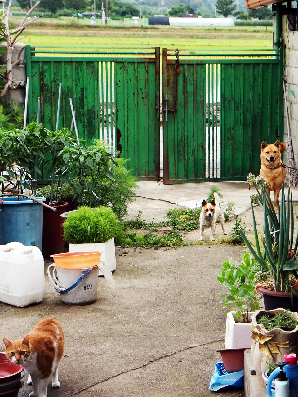 시골집 마당에서 노는 마루와 진순이와 또또. 깜실이는 안방을 독차지 하고 있다.