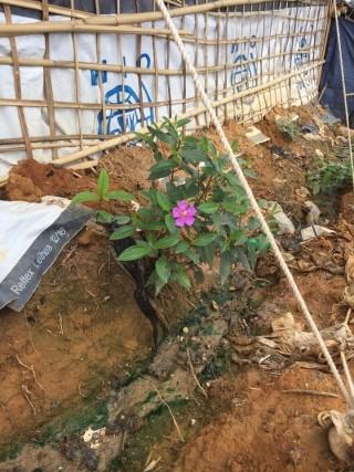 난민캠프에 심어진 묘목들 아디의 심리지원프로그램 중 하나인 묘목제공 프로그램, 묘목이 캠프 주변에서 자라고 있다.