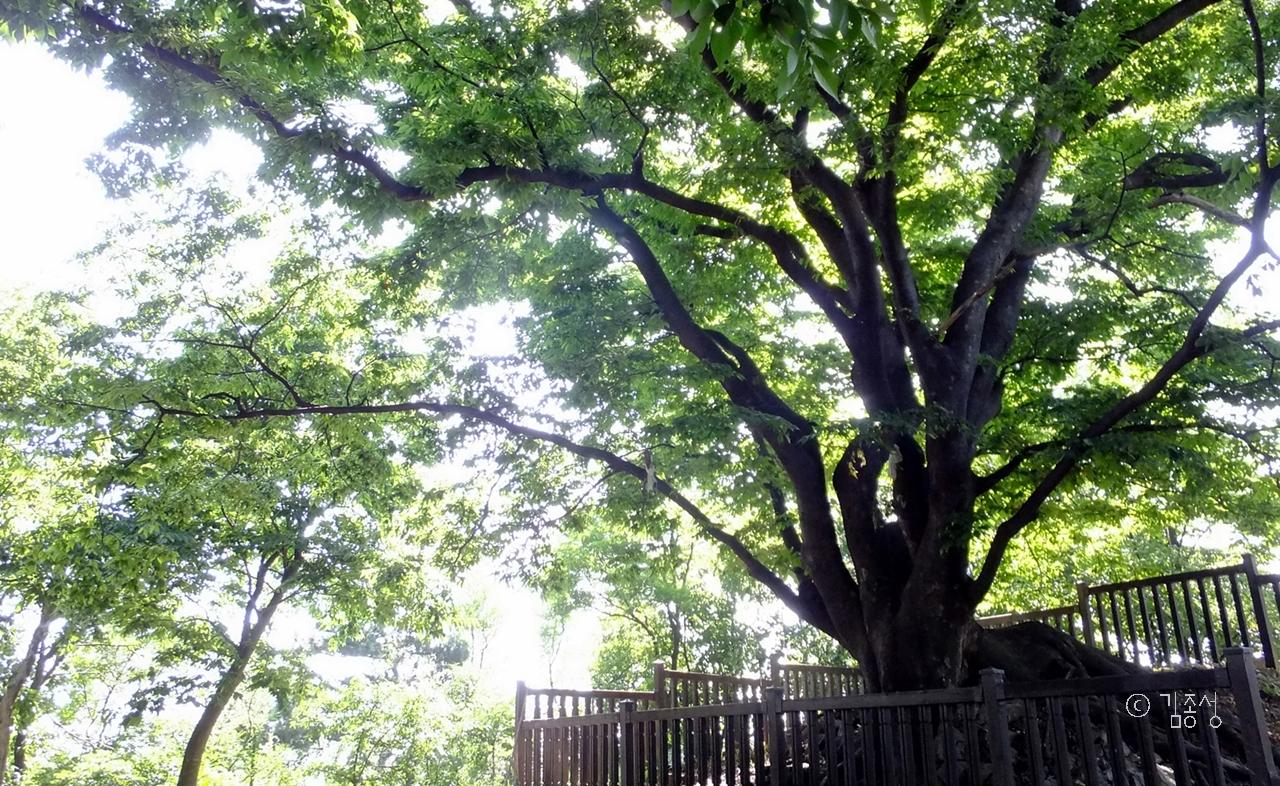 군자봉 꼭대기에 사는 품 넓은 느티나무.