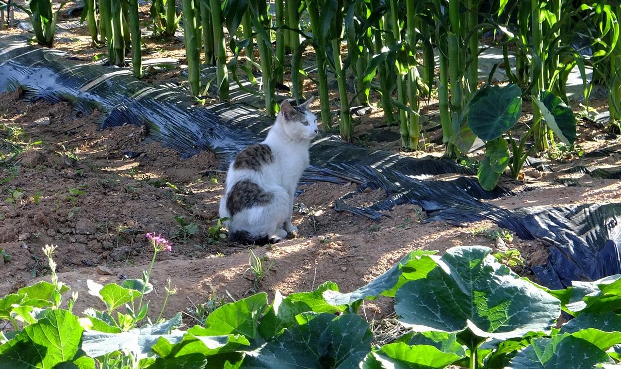 텃밭 산책중인 고양이.