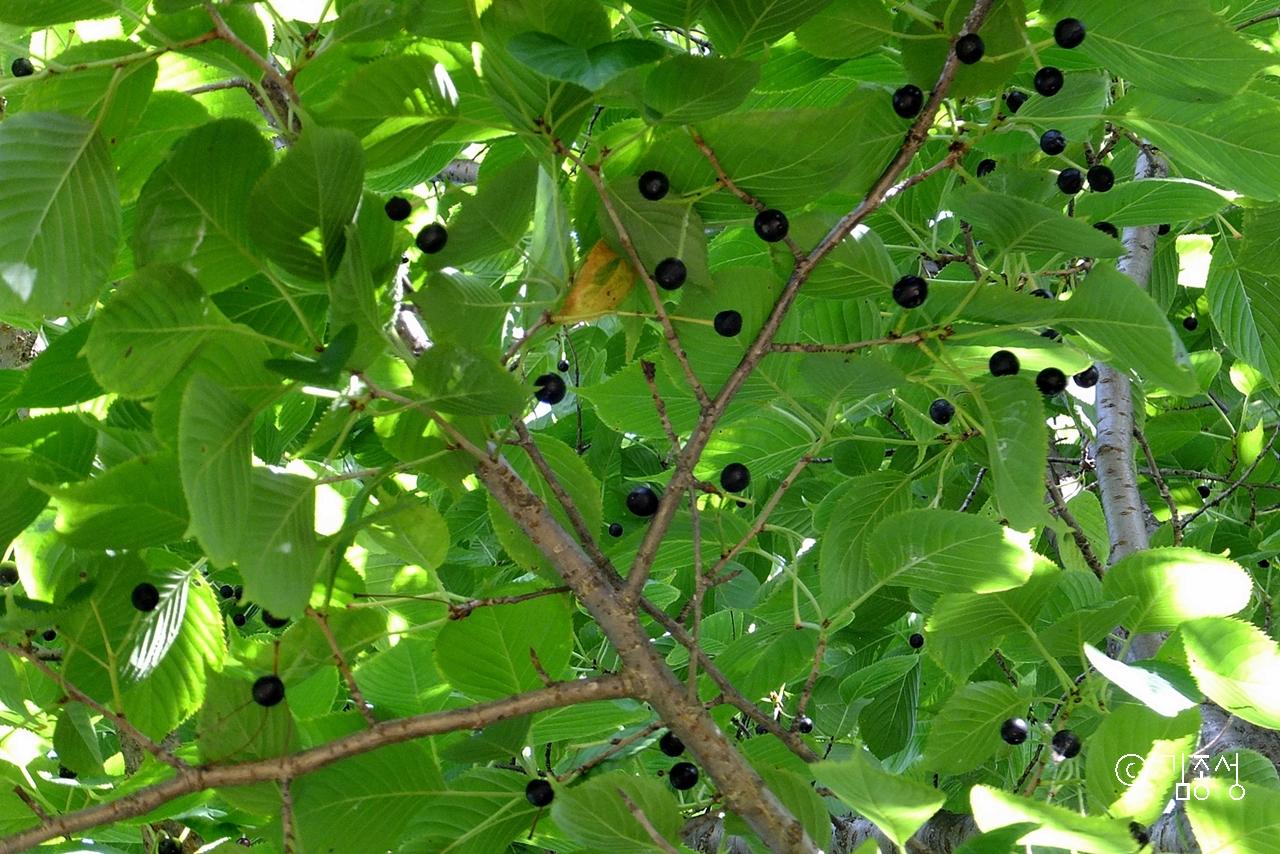 햇살도 막아주고 열매 버찌도 내어주는 고마운 벚나무.