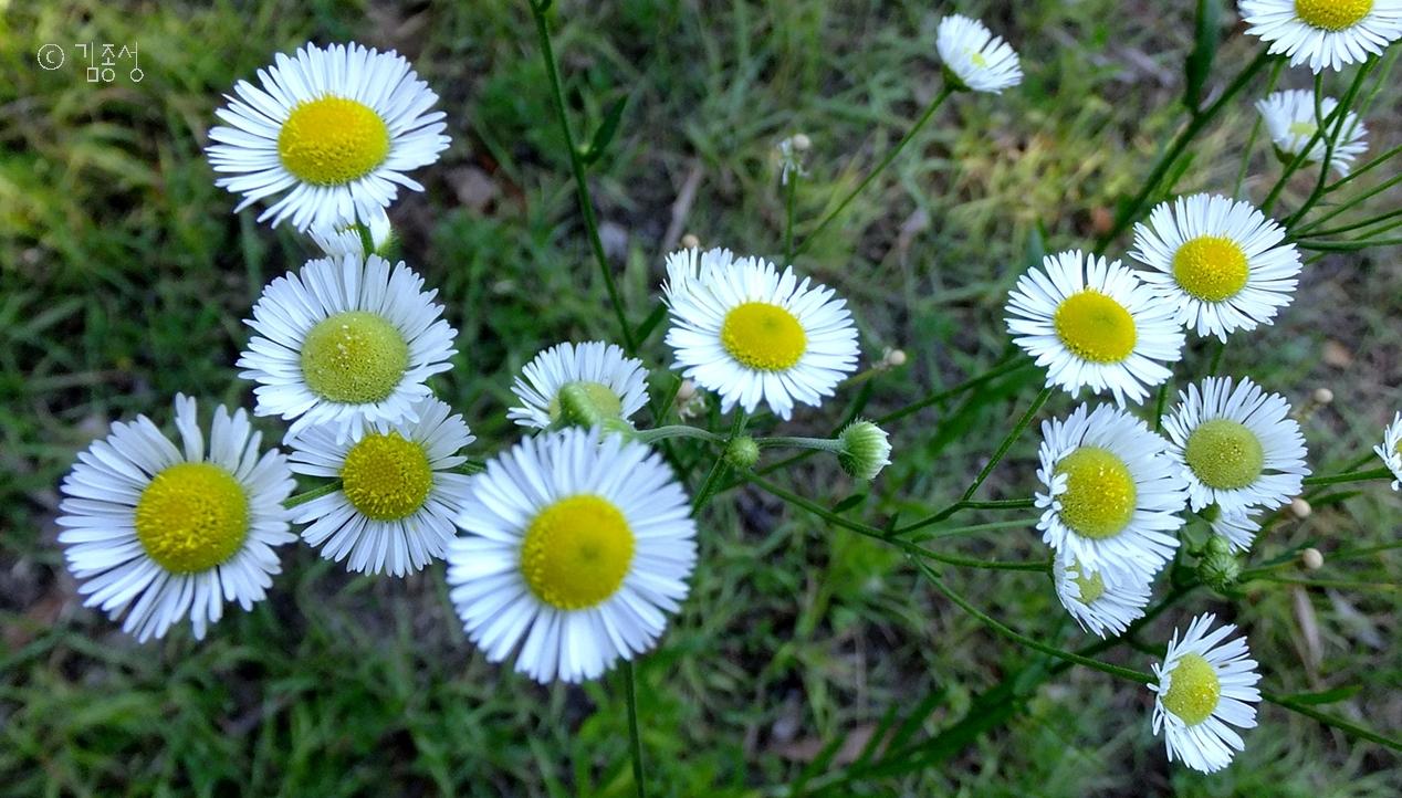 작고 예쁜 외관과 어울리지 않는 이름을 가진 꽃 '개망초'.