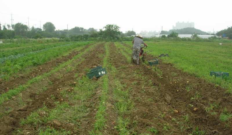 감자수확 장마철과 겹치는 감자수확은 올해도 빗속에서 쟁기를 밀었다