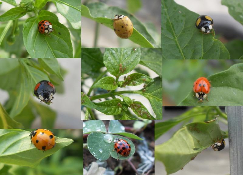 무당벌레 화려한 색깔의 무당벌레는 진딧물의 천적이다.
