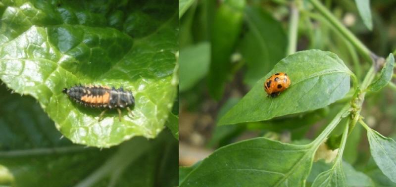 무당벌레  무당벌레의 유충(왼쪽)과 번데기(오른쪽)