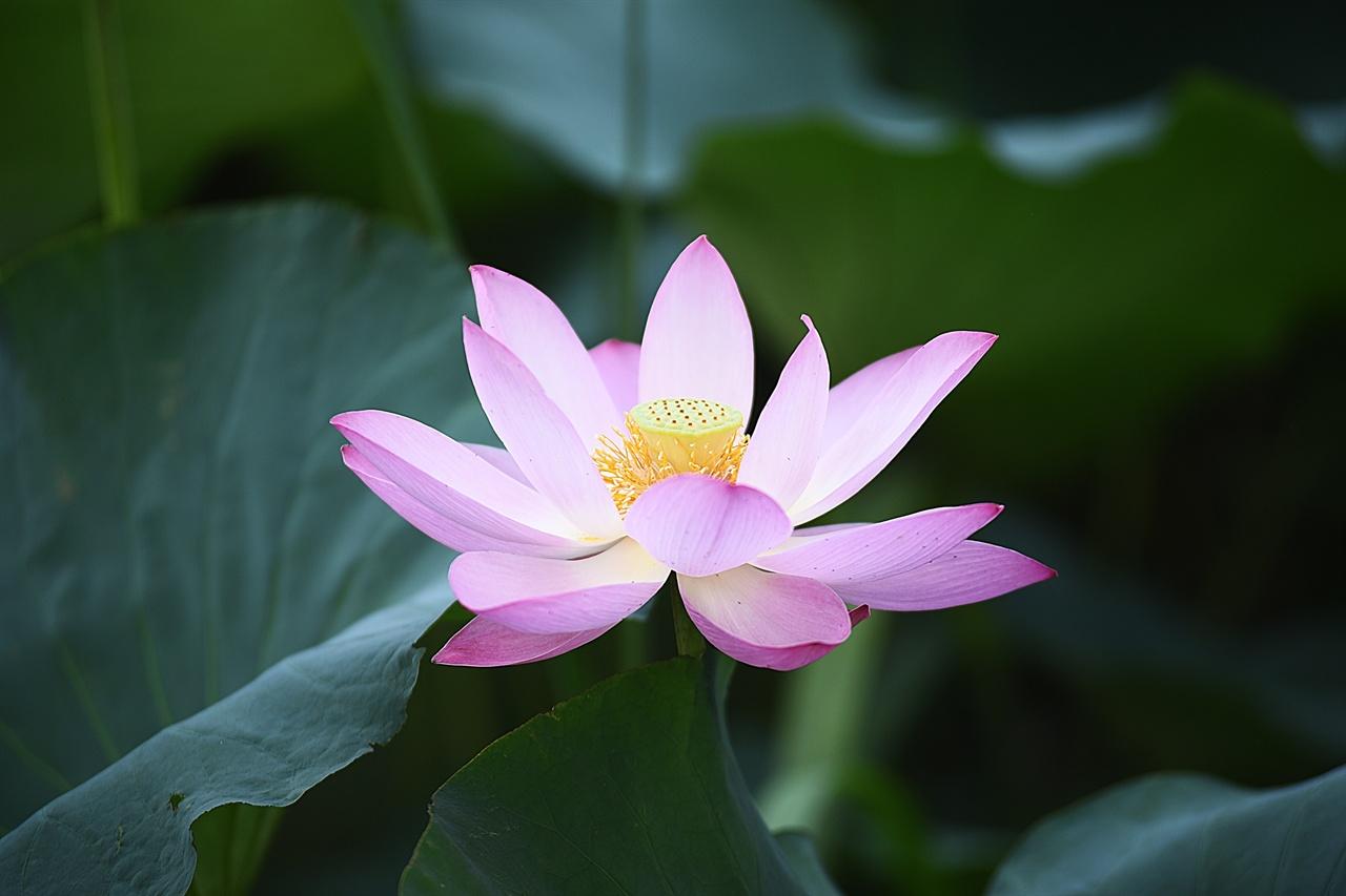 연꽃(서출지) 진흙탕 속에서 신비로운 꽃을 피우는 연꽃은 불교에서는 석가모니의 상징으로, 성리학에서는 도학자의 상징으로 간주된다.