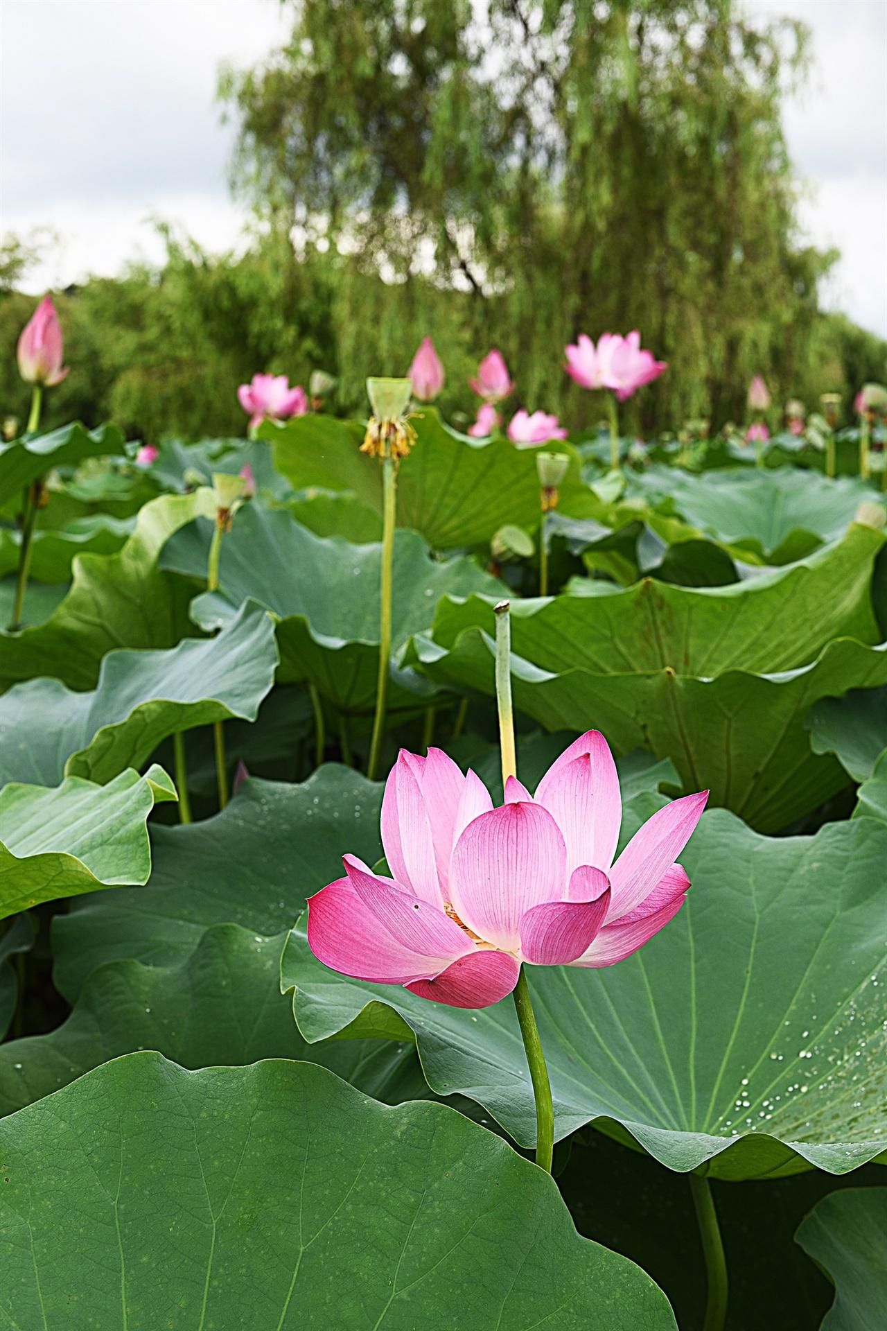 궁남지 연꽃  우리나라에서 가장 오래된 인공 연못 궁남지 연꽃 단지의 홍련