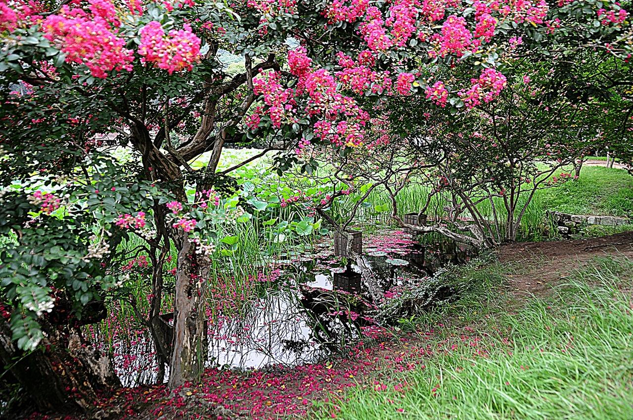 서출지 백일홍  서출지 가장자리의 길을 따라 산책하듯 걸으면 붉은 빛의 백일홍을 자주 만날 수 있다. 8월까지 백일홍은 연꽃과 함께 서출지의 주인공이 된다.