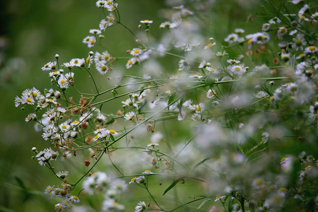 개망초 흔하디 흔한 여름꽃 개망초, 그들이 아무리 흐드러지게 피었은들 어떤 이들에겐 보이지 않는다.