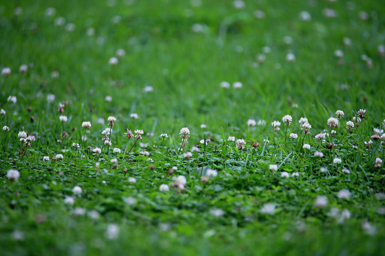 토끼풀 흔하디 흔한 꽃이지만, 그들 조차도 흔하게 볼 수 없을 때가 있다.