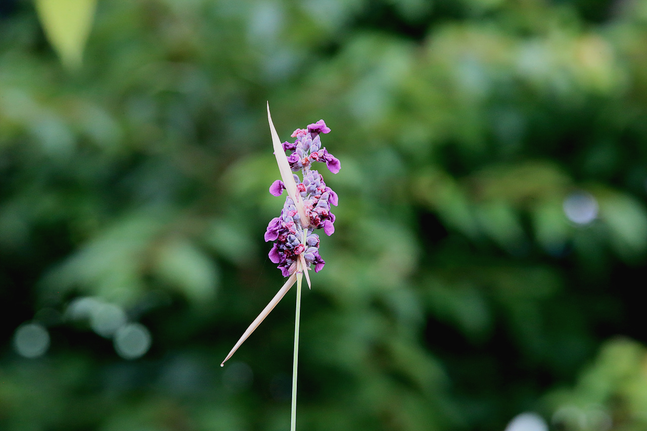 물칸나 수생식물 물칸나, 곧은 줄기와 보라색 꽃이 매혹적인 식물이다.