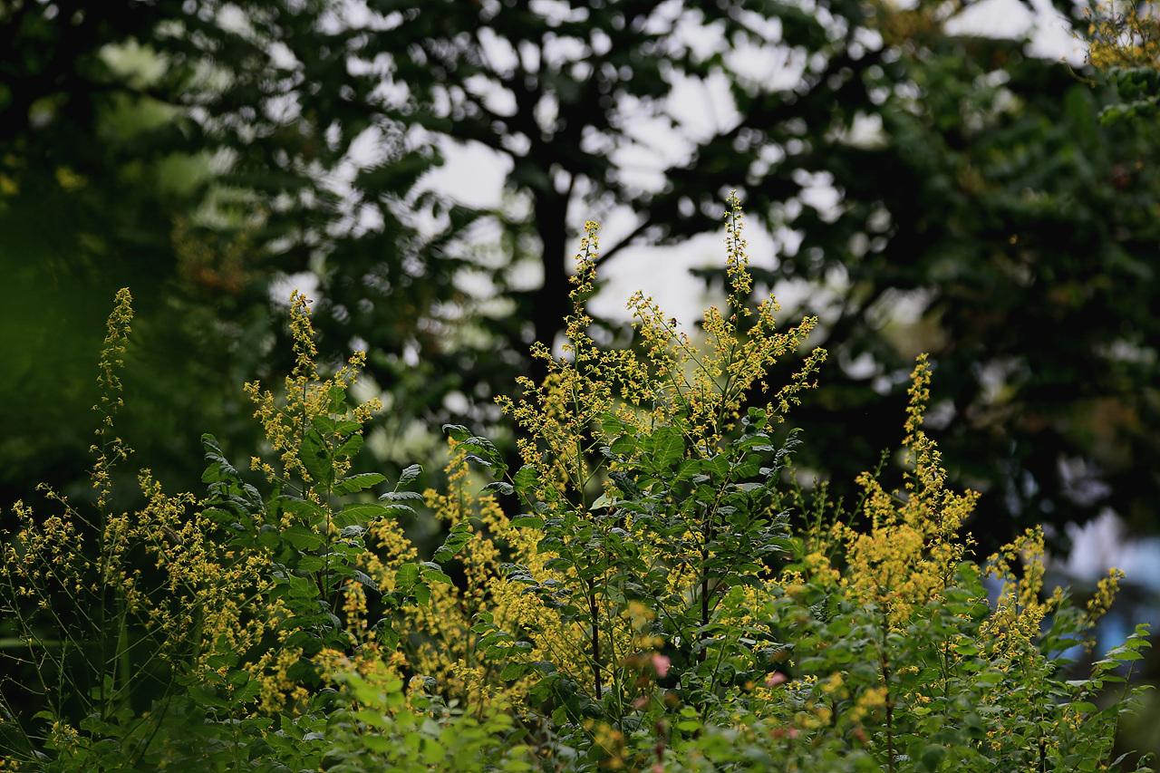 모감주나무 모감주나무의 꽃, 자잘한 꽃들이 오밀조밀 피어났다.