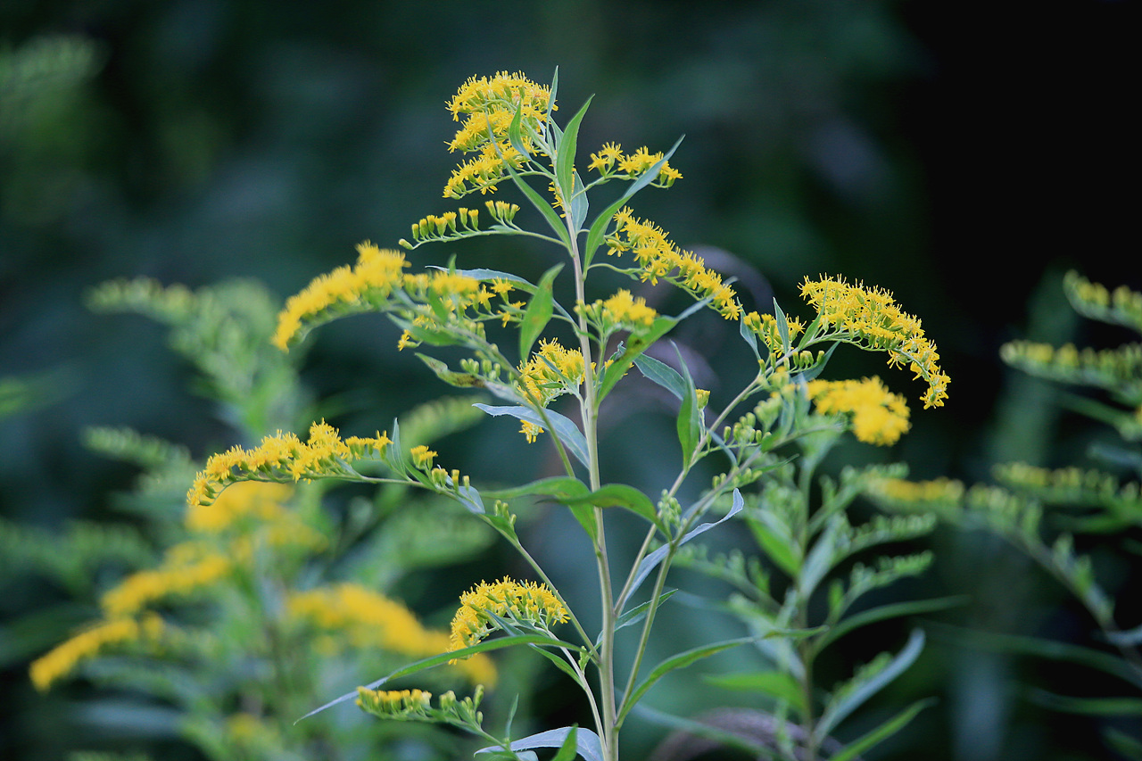 미역취 취종류의 꽃 중에서는 일찍 피어나는 꽃