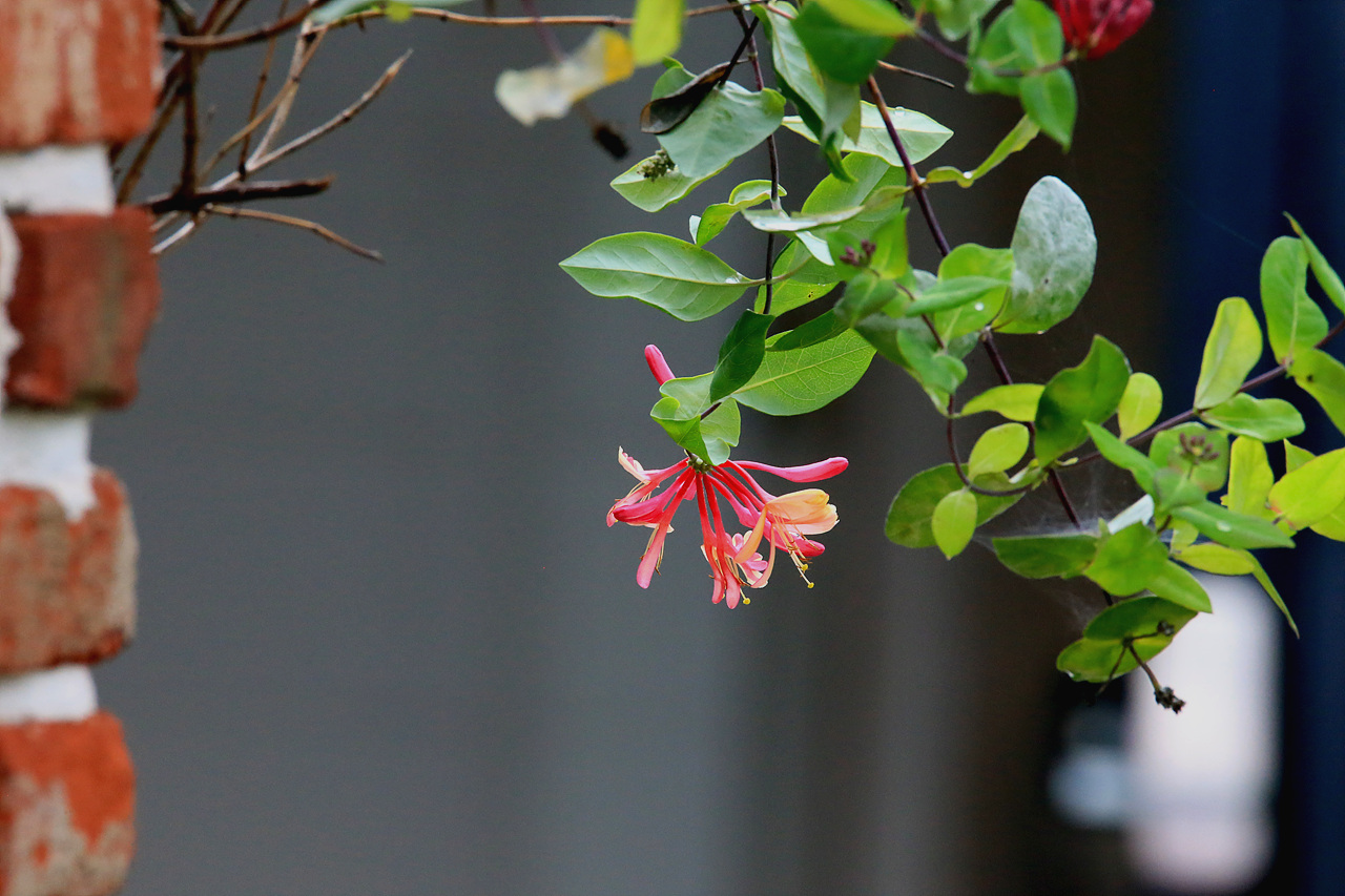 인동초 원예종 인동초다. 담벼락에 기대어 피어난 인동초는 한 겨울에도 푸른 이파리를 간직한다.