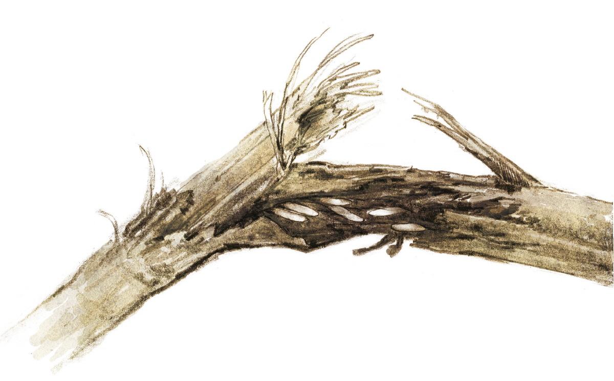 매미가 산란하여 죽은 가지 속의 매미 알들(그림 김동성) 논픽션 생태동화 '매미, 여름 내내 무슨 일이 있었을까'(사계절출판사)에 나오는 산란가지와 산란된 알을 묘사한 삽화