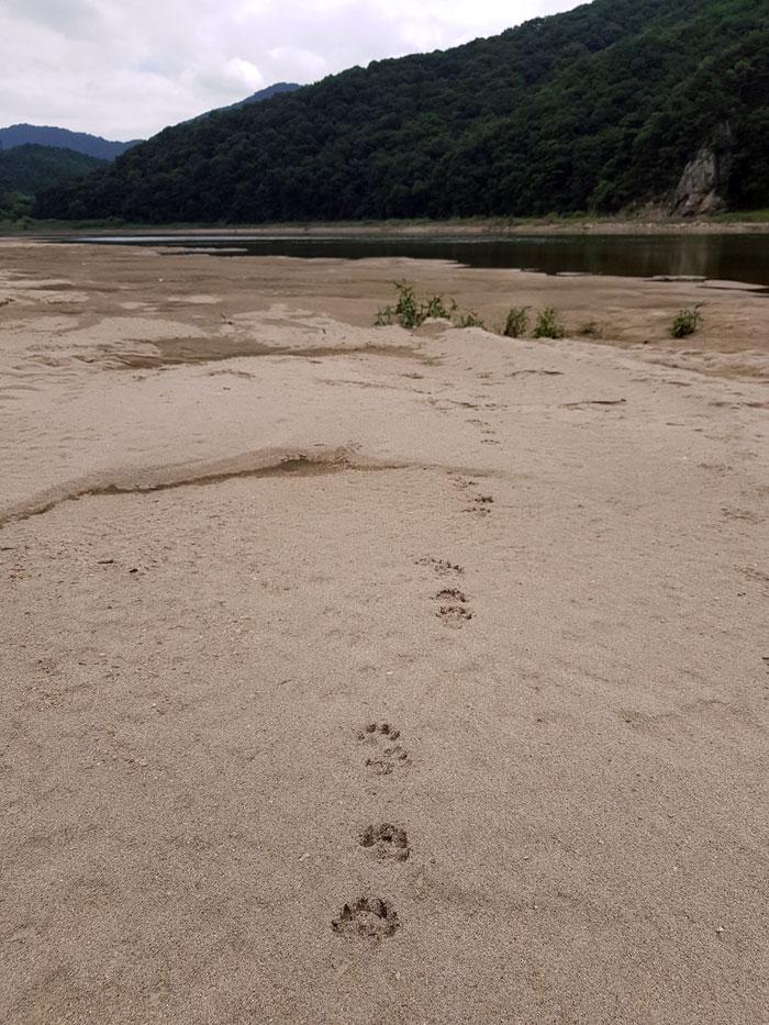 세종시 청벽 앞에 드러난 모래톱에 수달이 발 도장을 찍어 놓았다.