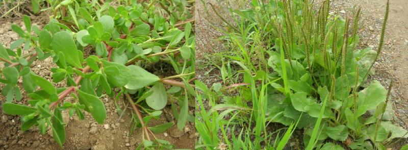 풀의 생존전략 가뭄에도 짓밣혀도 살아남는 쇠비름(왼쪽) 과 질경이