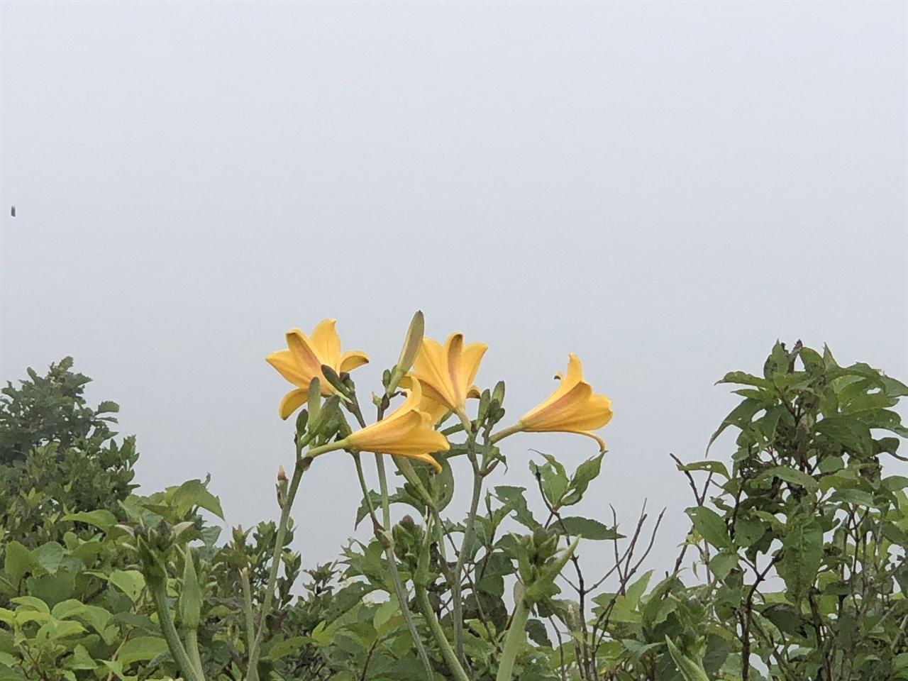 노고단 야생화 각시원추리꽃