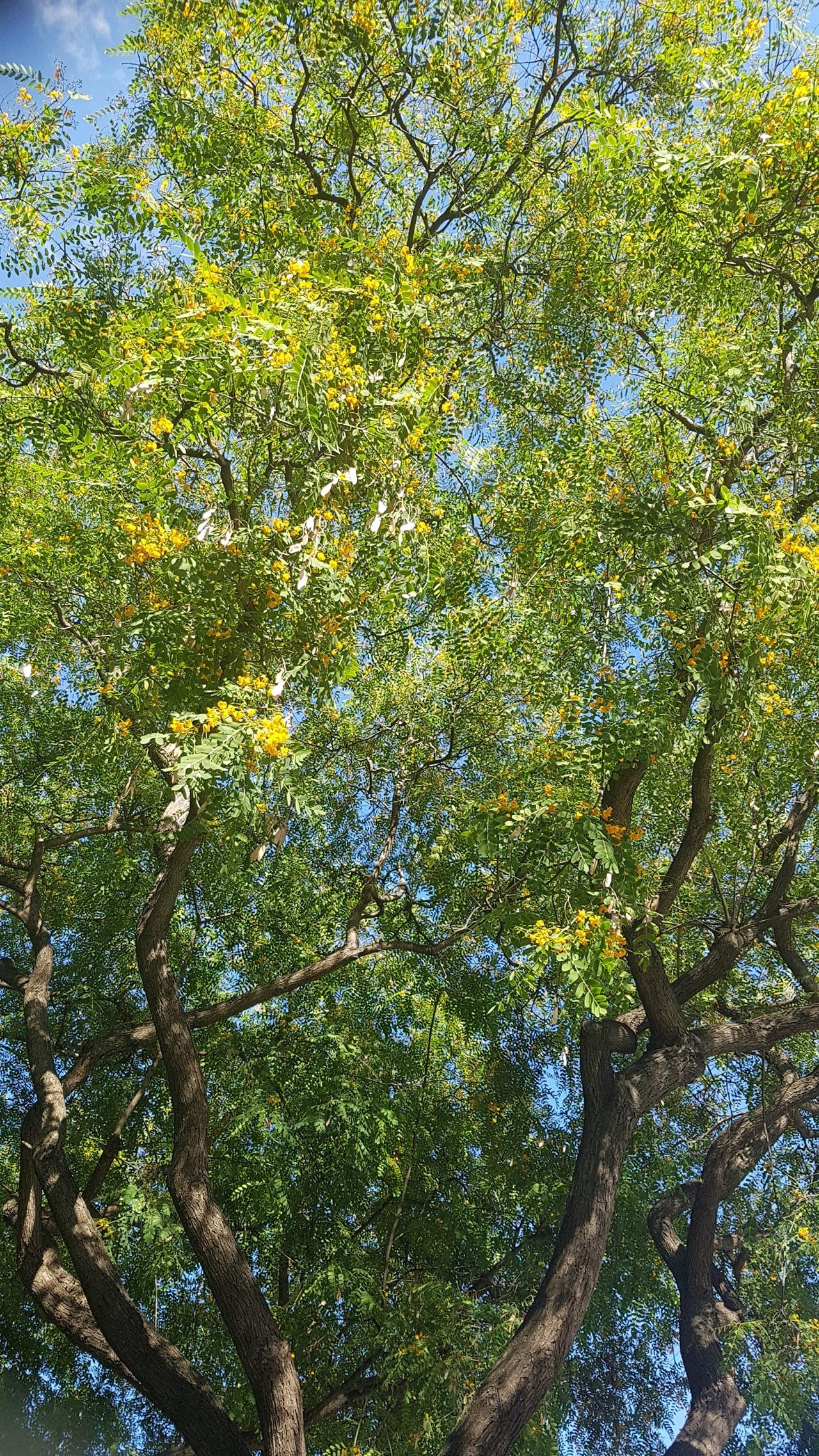 바르셀로나 거리에는 노란 꽃 아카시아 가로수가 많았습니다.