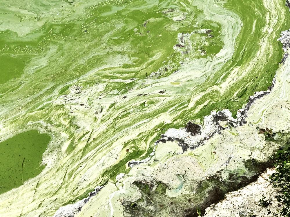 댐 바로 앞에는 짙은 녹조가 폈다. 녹조곤죽 상태다.