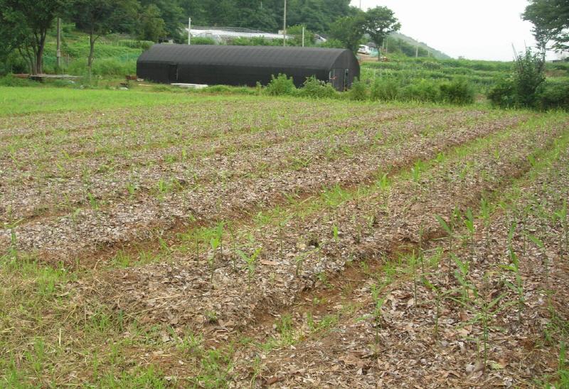 생강밭 마음이 끌리고 농부와 궁합이 맞는 작물이 있다