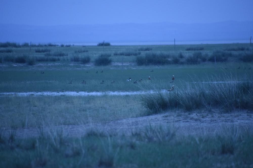 말라버린 호수의 남은 물가에 황오리 무리가 쉬고 있다가 낯선 이방인이 나타나자 경계를 하며 날아오를 준비를 하고 있다. 얼른 자리를 피했다.
