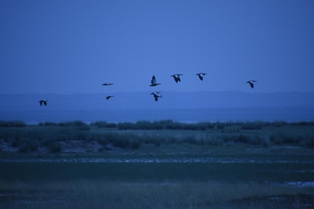 호수에 앉아 쉬고 있던 홍머리오리들도 먹이활동을 위해 힘차게 날아오른다.