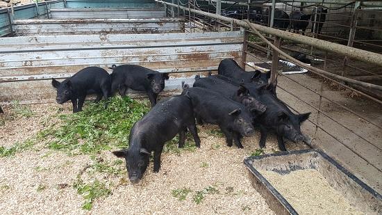 배합사료를 먹지 않고 자급축산을 통해 키우는 정은농원의 돼지는 일반 돼지와 달리 털에 윤기가 나고 귀가 쫑긋하며 냄새가 많이 나지 않는다.