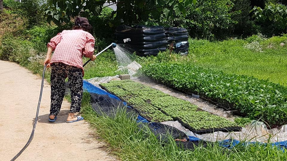 무더운 날씨와 강한 햇빛은 다음 농사를 준비하고 있는 농부들에게도 큰 걱정거리이다. 홍성 홍북면의 한 농가에서는 연신 들깨묘에 물을 주고 있었다.