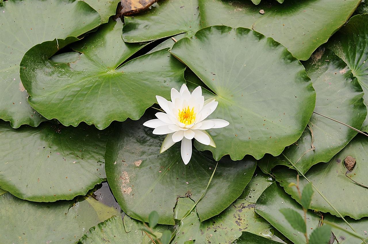 월지의 백련  7~8월에는 월지에 연꽃이 피어 청초한 풍경을 더한다.