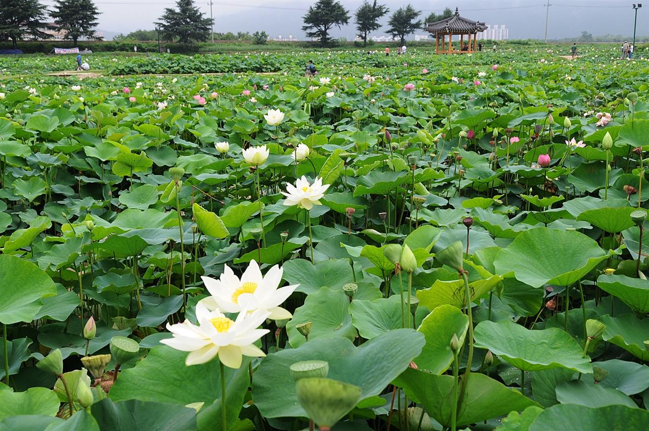 연꽃단지  동궁과 월지 옆에는 연꽃 단지가 따로 조성되어 있어 여행객들의 발길을 붙든다.