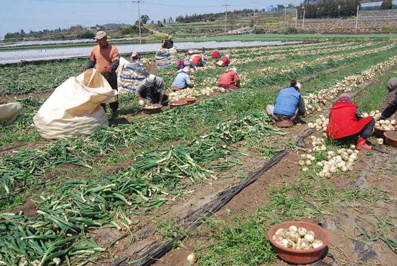 농민들이 봄철에 대정읍에서 양파를 수확하는 현장. 농가는 수확철에 일손이 많이 필요하기 때문에 최저임금 인상이 농민들을 어렵게 만들 것이라고 우려가 있다.