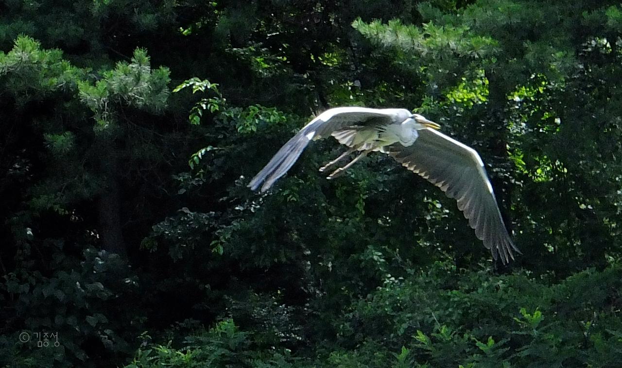 큰 날개로 호수공원을 유유히 날아다니는 왜가리.