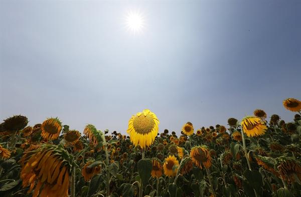 태양을 피하고 싶은 해바라기 폭염이 계속되고 있는 24일 오후 경기도 화성시 서신면 매화리 해바라기밭에 핀 해바라기들이 태양을 등지고 있다.