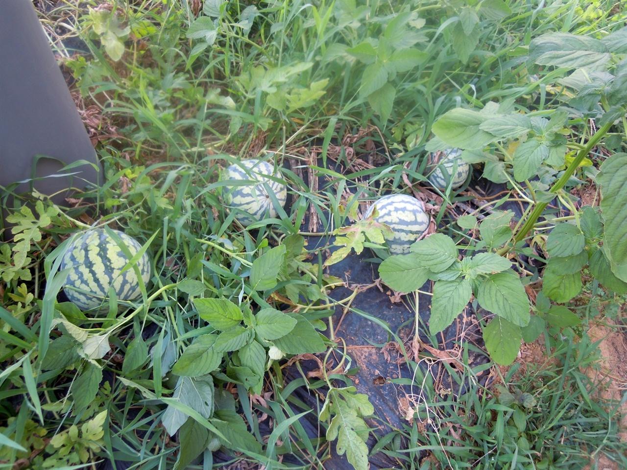 잎과 줄기가 말라가고 있는 수박밭