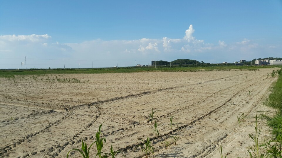석문간척지 조사료 옥수수 단지의 모습 석문 간척지는 폭염과 염해로 인해서 옥수수가 제대로 나오지도 못했다. 7월 31일 모습