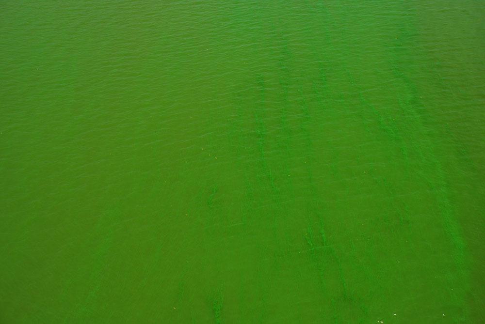 녹색 물감을 풀어 놓은 듯 강물은 온통 녹조가 발생하고 있다.