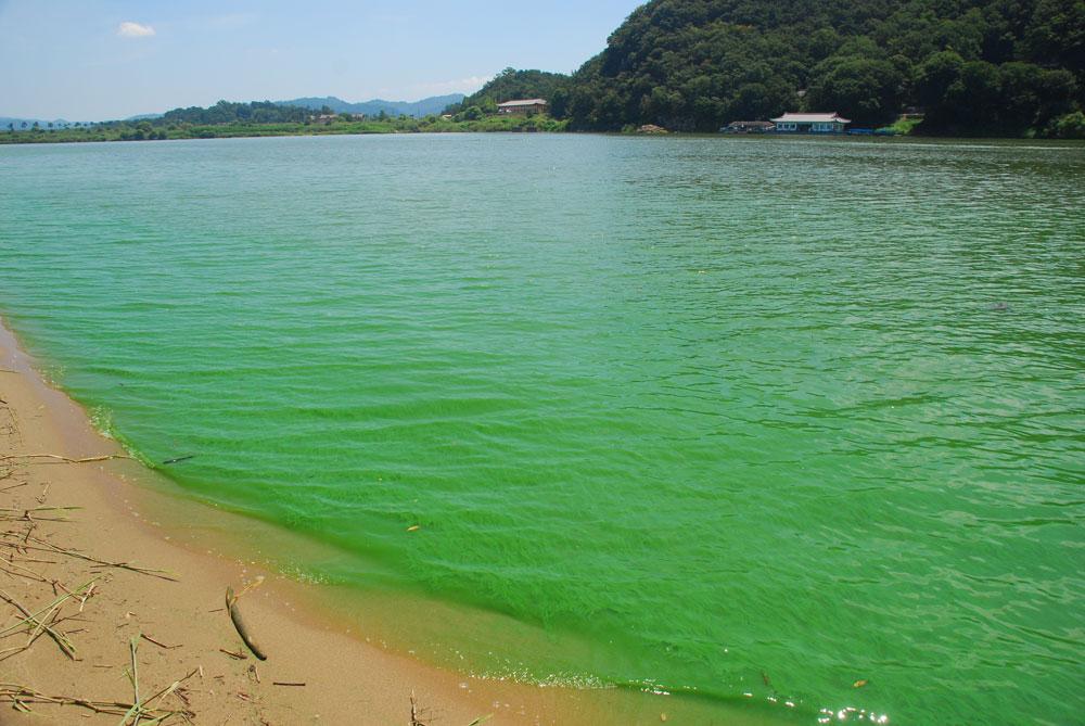 4대강 사업 전 넓은 백사장이 펼쳐진 곳으로 영화 JSA 촬영지로 유명한 강변도 녹조로 물들었다.