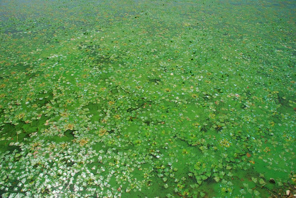 강물이 흐르지 않는 백제보 상류는 저수지나 늪지에 서식하는 마름이 강을 덮어가고 있다.