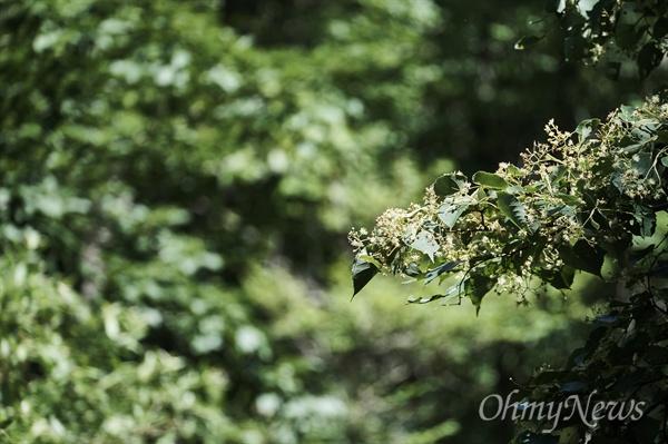 피나무에서 나는 꿀은 장마가 오래 지속되면 흉년이고, 올해처럼 장마가 짧으면 풍년이다. 장마가 짧아 애 태우는 농부들과는 정반대다. 피나무 꿀은 향이 강하다. 쌉싸름한 맛도 있어 여느 꿀보다 품격이 있다.