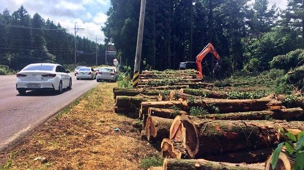 도로 확포장을 위해 무참히 훼손된 삼나무