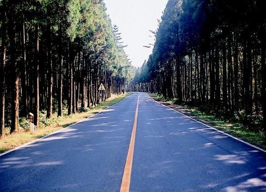 삼나무가 뽑혀나가기 전 비자림로의 모습