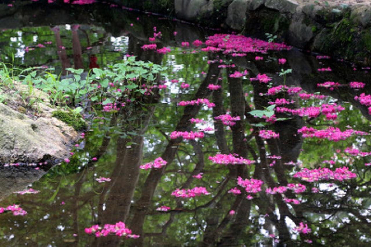 연못에 뚝뚝 떨어진 꽃잎들이 처연하다. 광주 5.18 민주화운동을 다룬 영화 <꽃잎>이 연상 된다.