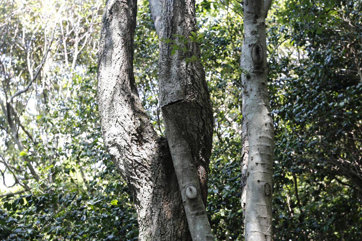 팽나무와 이팝나무가 서로 부둥켜안고 있는 연리지. 접도 남망산 웰빙 숲길에서 어렵지 않게 만날 수 있는 풍경이다.