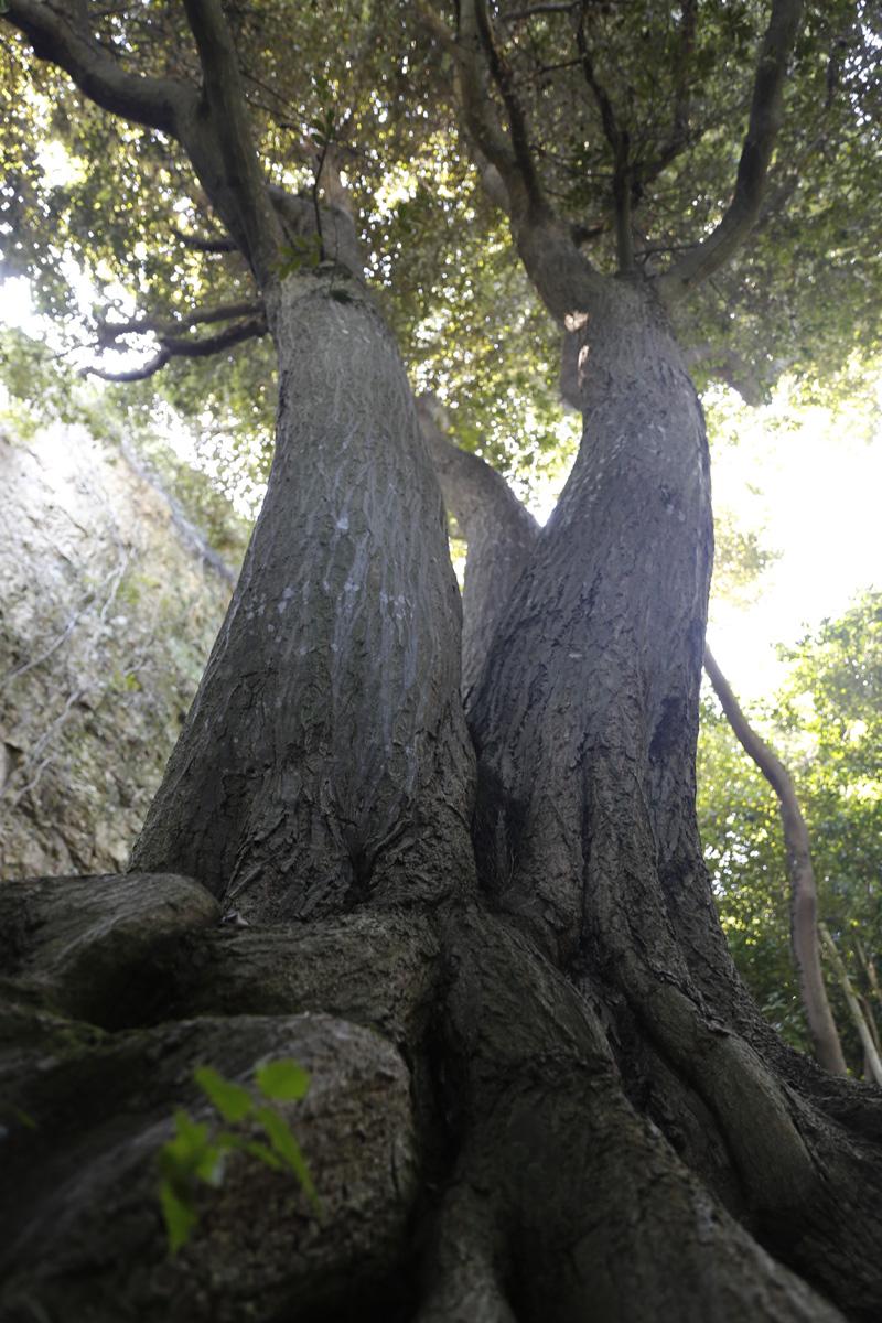 접도 남망산에서 만난 구실잣밤나무. 나무가 세 갈래로 융융하게 뻗어 이른바 '삼부자나무'로 불린다. 병풍바위 앞에 있다.