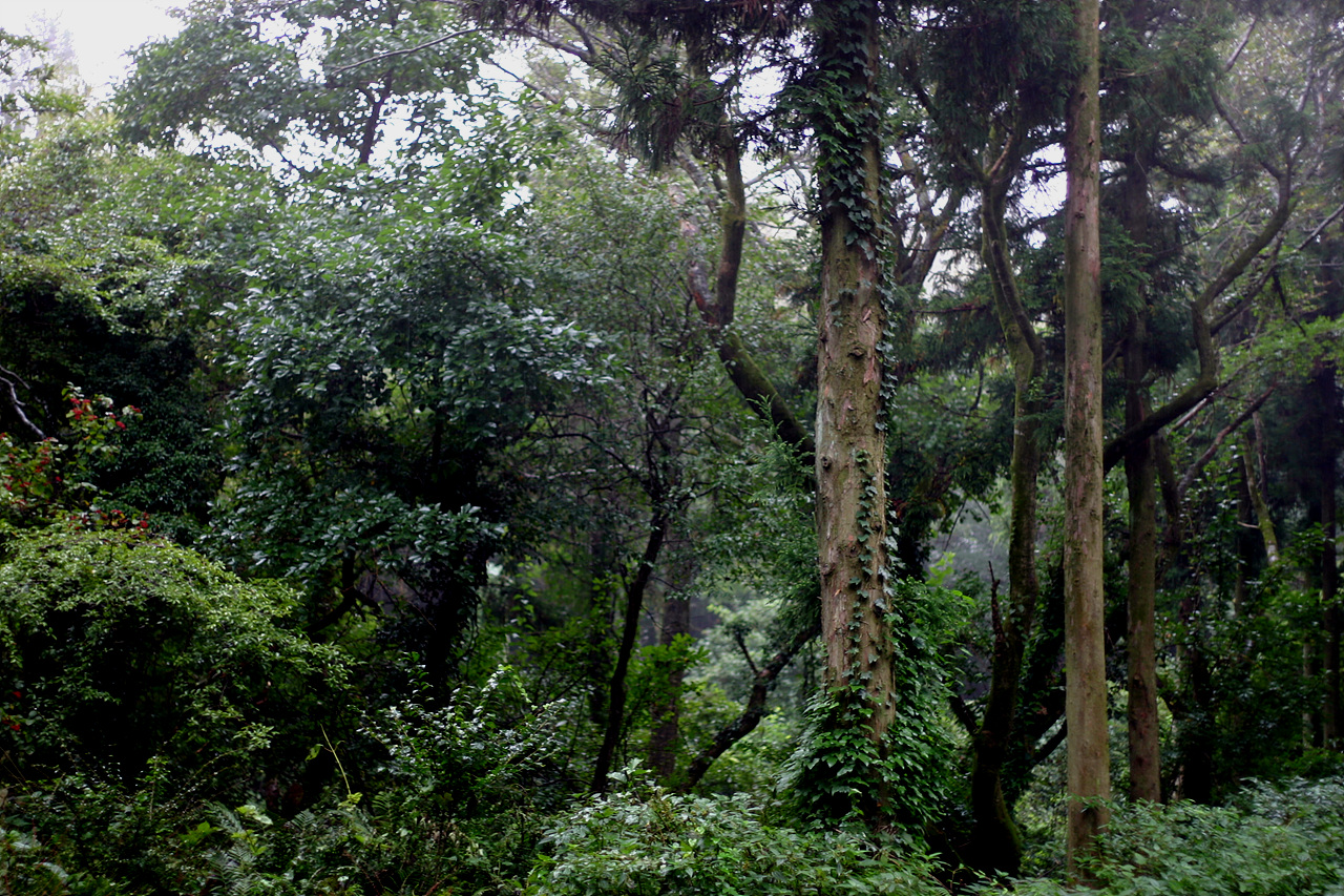 삼나무와 숲 삼나무가 있는 한라산의 숲, 마치 삼나무가 제주의 모든 식생을 파괴하는 주범인 것처럼 몰아부치지 말라. 그들은 더불어 그렇게 살아가고 있다.