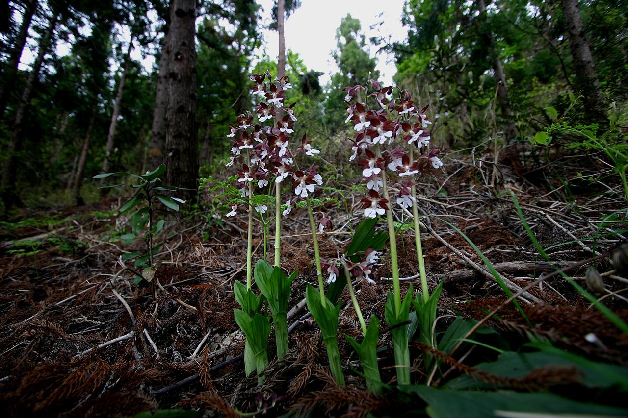 새우란 삼나무 숲에 피어난 새우란, 인적이 뜸한 삼나무 숲에서 어우러져 살아가는 제주도의 특산식물들과 다양한 야생화들을 수도 없이 만났다. 어떻게 가꾸느냐의 문제일 뿐이다.