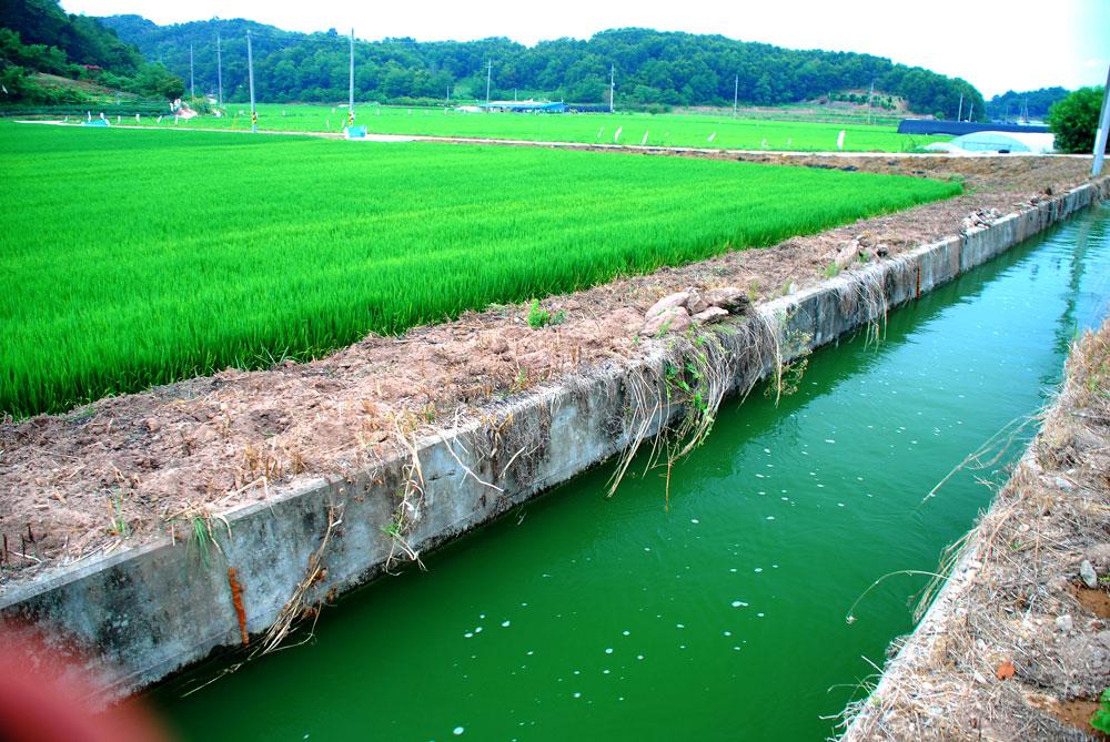 충남 부여군 세도면 농경지로 공급되는 강물이 녹조로 가득하다. 인근 금강에서 퍼 올린 농업용수다.