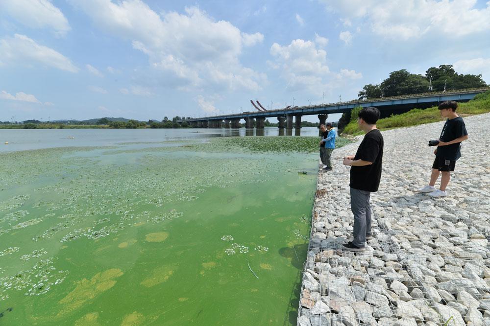 보령댐으로 강물을 공급하는 도수로 주변이 온통 녹조로 찌들었다.